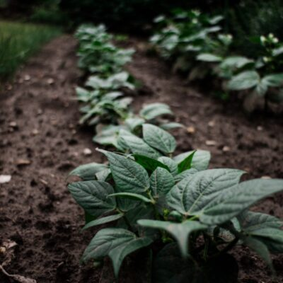 de-aardappelplant-informatie-en-verzorging